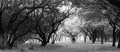 Into the Light (goldengirl 2011) Tags: monochrome blackandwhite blackwhite landscape blackwhitelandscape wheelchair disabledfitness alone katharinehanna tucsonarizona rillitoriverpark outdoor tree plant