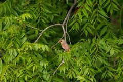 7K8A3872 (rpealit) Tags: scenery wildlife nature east hatchery alumni field hackettstown female northern cardinal bird