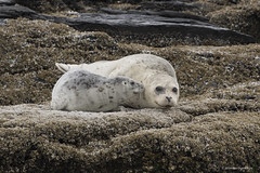A new beginning (shimmeringenergy) Tags: harbourseal phoquecommun phocavitulina salishsea washingtonstate adorable pup