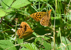 Silver Washed Fritillaries in Ryton Woods (robmcrorie) Tags: wood nature silver butterfly insect wildlife washed coventry fritillaries warwickshire ryton sssi