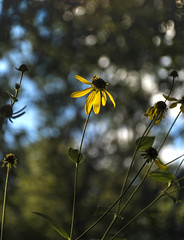 Summers end~HBW (mark-marshall) Tags: nikon nikon18140mmf3556gedvrii d500 bokeh hbw flower summer