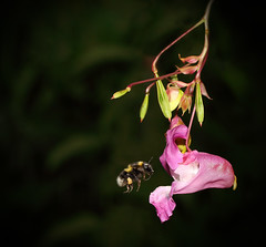 Bumblebee (Nickerzzzzz - Thanks for stopping by :)) Tags: nickudy photograph bumblebee bombushortorum bombus flight sting wildlife wings nature insect outdoor