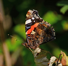 Red Admiral with Broken Wing (Gaz-zee-boh) Tags: butterfly lepidoptera nature swanage insect almostanything nikon d7k redadmiral