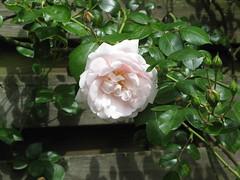 Gott ist mein Lied, doch wenig (amras_de) Tags: rose rosen rua rosa rue rozo roos arrosa ruusut rs rzsa roe rozes rozen roser rza trandafir vrtnica rosslktet gl blte blume flor cvijet kvet blomst flower floro is lore kukka fleur blth virg blm fiore flos iedas zieds bloem blome kwiat floare ciuri flouer cvet blomma iek