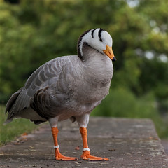 Bar-headed goose (FocusPocus Photography) Tags: streifengans barheadedgoose gans goose anser indicus vogel bird tier animal killesberg stuttgart wasservogel waterfowl