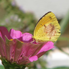 late Summer pink cup of yellow (Vicki's Nature) Tags: sleepyorange yellow sulphur butterfly pink zinnia old flower blossom yard georgia vickisnature canon s5 1216
