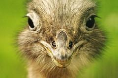 RZSS Edinburgh (myerslaura) Tags: edinburgh adventure tourism animals animal nature edinburghzoo zoo zoological zoology rzss captivity ostrich bird