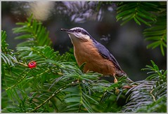 one red berry and a nuthatch (hardy-gjK) Tags: nuthatch kleiber vogel bird natur nature wildlife tiere animals tanne tree fir nikon green red berry plant