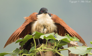Blue-headed Coucal (Centropus monachus)