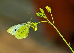 Feeding on the nectar of rocket blossom. (Kat-i) Tags: schmetterling butterfly kohlweisling smallwhite rucola blte blossom makro macro insekt insect sonmer summer outside nikon1v1 kati katharina 2016 pierisrapae