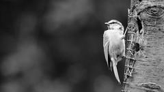 Black and White Tit (J @BRX) Tags: adeldam yorkshirewildlifetrust goldenacrepark bramhope leeds yorkshire england uk august2016 summer bird green blue feeder feeding tits bluetit tit blackandwhite bw
