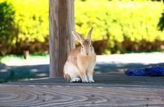 image (Rubia.A) Tags: rabbit japan hiroshima rabbitisland okunoisland 広島 大久野島 うさぎ 兎