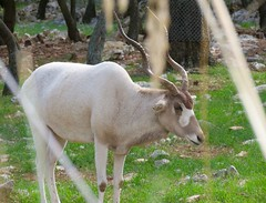 Addax mle (A-MPerrone) Tags: dromadaire hartmann landducap girafe zoo montpellier animaux zbre gupard wallaby girafon ane