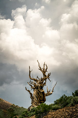 Golden Ratio Ancient Bristlecone Pines! Sony A7RII Elliot McGucken Fine Art Landscape Photography! (45SURF Hero's Odyssey Mythology Landscapes & Godde) Tags: golden ratio ancient bristlecone pines sony a7rii elliot mcgucken fine art landscape photography 1635mm variotessar t fe f4 za oss emount lens dr wide angle rainbow a7r2 a7r a7 a72 photographywide cut divine section spiral rectangle rainbows photographer nature photograhy number godlen