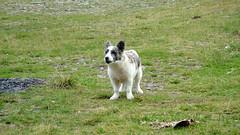 Transfagarasan Dog (Mihai Toma) Tags: wild dog white transfagarasan