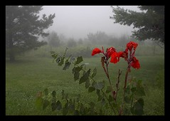 Red flower on foggy landscape (Gerald Barnett) Tags: red sky usa flower green nature leaves fog landscape grey dawn scenery mood ambientl