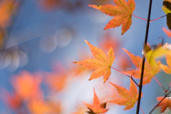 Hello  !!!! (SYU*2) Tags: blue autumn light red sky love nature colors beautiful leaves japan forest 50mm nikon bokeh bluesky  planar d800 carlzeiss dreamyandethereal