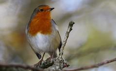 Robin 141114 (4) (Richard Collier - Wildlife and Travel Photography) Tags: red robin birds ngc naturalhistory british britishbirds