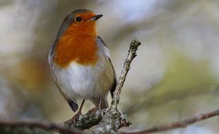 Robin 141114 (4)