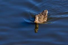 Duck At The Nature Reserve of Prs Sals (Carlos Martn Daz) Tags: france naturereserve francia prssals arcachonbay