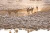 IMG_3952.jpg (The_Green_Ninja) Tags: azn dusk impala waterhole namibia etosha exodus