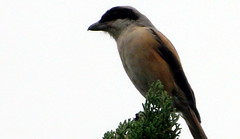 Long-tailed Shrike, Lanius schach (asterisktom) Tags: longtailedshrike laniusschach shrike august 2014 china shanghai pudong bird vogel ave 鸟 niao птица 鳥