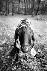 Dan's Nubian (johnmcochran2012) Tags: blackandwhite film pentax fujifilm spotmatic neopan manual tamron blackandwhitephoto blackandwhitephotos blackandwhitephotograph pentaxspotmatic blackwhitephotos tamron28mm fujifilmneopan100acros secondhandcamera