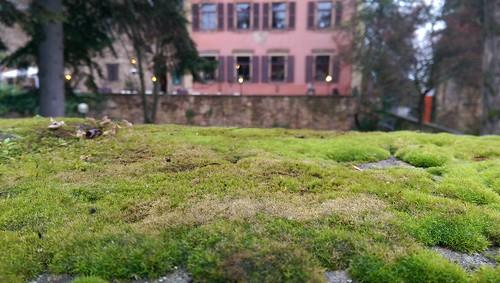 348/365 Blick über den Mauerrand - Deidesheim