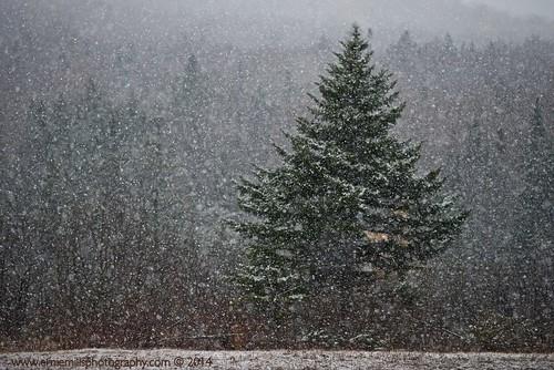 Snow-spruce-tree-11.1.2014-EM
