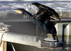 Grand Cormoran (JFB31) Tags: great grand cormorant » cormoran « carbo phalacrocorax phalacrocoracidés pélécaniformes