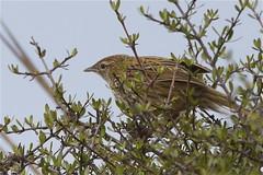 Matata - South Island fernbird - Bowdleria punctata punctata (Steve Attwood) Tags: newzealand bird nature canon wildlife southisland otago matata sinclairwetlands bowdleriapunctatapunctata southislandfernbird
