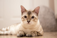 Chester :) (ScottieDog73) Tags: cat sony sigma super bengal snowbengal sonyalpha dt1850mm ef610dg a77ii