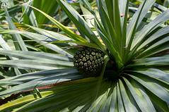 Pu Hala (Ha-Tschi) Tags: usa hawaii pentax cone kauai kr tamron 90mm hala pandanustectorius okolehaotrail puhala