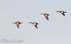 _MG_1055.jpg (pknight45) Tags: birds places bluewingedteal bakerwetlands
