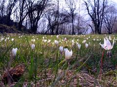 primavera (enrico sprea) Tags: primavera italia crocus fiori prato brianza lombardia lecco galbiate montebarro
