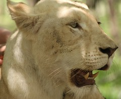 mauritius casela nature reserve (chillb4me63) Tags: canon flickr lion lions pro mauritius casela 550d flickrelites