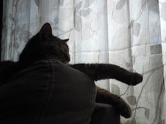 P6260002 (Raccoon Photo) Tags: pet cats pets cute love animal animals cat fur paw furry feline kittens pixie domestic kitties paws companions love animals eyes cat pixie kamalani domestic ball cat cats fur adorable stardust adopted
