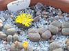 DSCF0369 (BobTravels) Tags: plant stone bob lithops lithop messem bobwitney