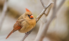 Female Northern Cardinal (quenel.jiang) Tags: winter orange beautiful birds female cardinal fat perch colorfulbird