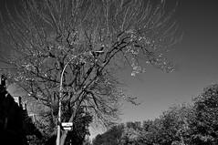 Test (bob august) Tags: autumn trees bw test fall automne blackwhite nikon montral noiretblanc arbres leafs feuilles plateaumontroyal 2014 d90 avenueduparclafontaine nx2 nikond90 nikonnx2 nikkor18300mm