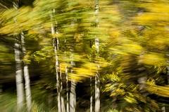 (Keith Kamicar) Tags: trees motion blur fall nikon colorado zoom keith pan aspen nikkor1735 d700 kamicar
