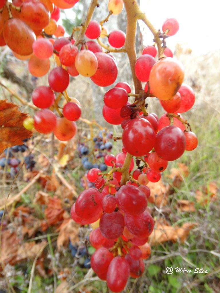 Águas Frias (Chaves) - ... o último cacho de uvas ...