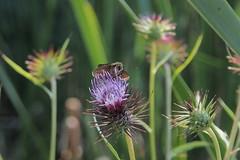 P9200234 (Liberatem) Tags: flower butterfly thistle cirsium アザミ skipperbutterfly セセリチョウ 附属自然教育園