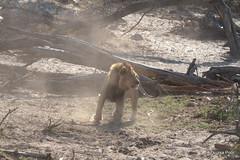Lion vs Vultures (Zsuzsa Poór) Tags: africa bird animal wildlife lion felines botswana vulture animalplanet makgadikgadi wildlifeafrica canonistas canoneos7d canonef70200mmf28lisusmii canonextender14xiii