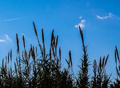 Roseaux (Les iso d'Isa) Tags: nature ciel roseaux