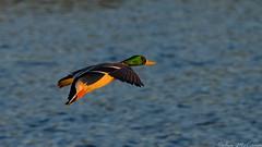 Mallard at Esquimalt Lagoon (C McCann) Tags: canada male vancouver island flying duck bc lagoon columbia victoria british mallard esquimalt