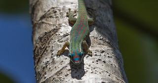 Mauritius ornate day gecko / Mauritius Taggekko (Phelsuma ornata)