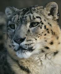 Portrait / Portrt  ( Panthera  uncia ) 120204 (Eddy L.) Tags: portrait nuremberg portrt snowleopard nahaufnahme schneeleopard irbis tiergartennrnberg pantherauncia tiergartenfreundenrnbergev