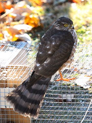 IMG_2722-1 Sharp-shinned Hawk (John Pohl2011) Tags: bird canon john hawk raptor 100400mm birdofprey pohl perching t4i 100400mmlens canont4i