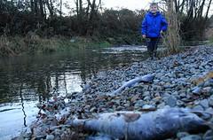 2014-11-23 - Salmon Spawning (Ken_Lord) Tags: water creek canon river salmon spawn spawning slough chum 60d salmonid norrish nicoamen